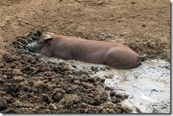 Pig-a-potamus