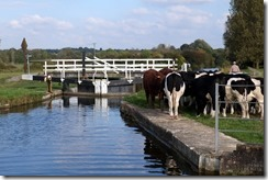 Hungerford Marsh Lock and Cows