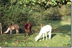There're llamas at the bottom of my garden