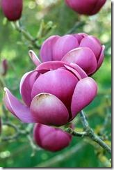 More Magnificent Magnolias