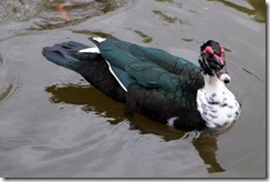 Muscovy Duck, it would seem.