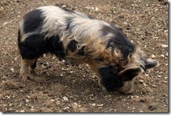 Hairy Pigs 1