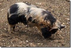 Hairy Pigs 1
