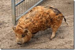 Hairy Pigs 2
