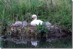 More cygnets