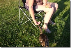 Tame duckling