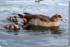 Egyptian Goose & goslings
