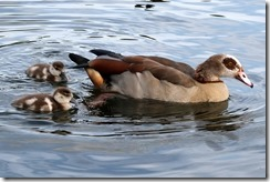 Egyptian Goose & goslings