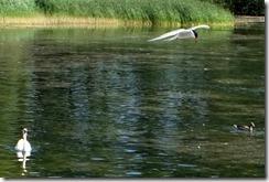 Tern & Swan