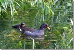 Moorhen & Chick