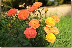 Upwell Roses