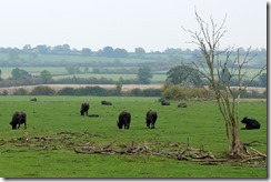 Napton Water Buffalos