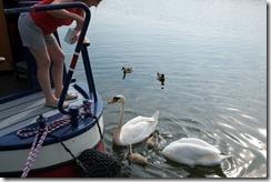 Frampton Swans