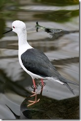 Black Winged Stilt