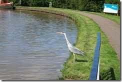 Nantwich Aqueduct - Resident Heron