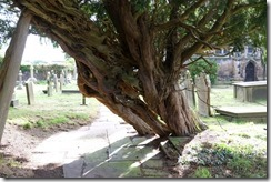 Astbury Church Yew Tree