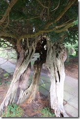 Astbury Church Yew Tree