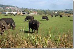 Napton Buffalos