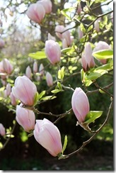 The Savill Garden: Magnolias