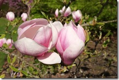 The Savill Garden: More Magnolias